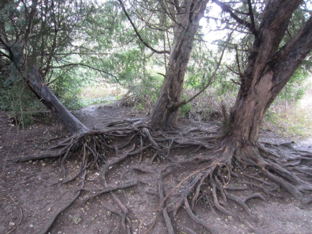 Amazing roots on Box Hill