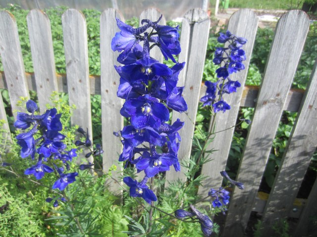 I know these ones! Delphiniums. :)