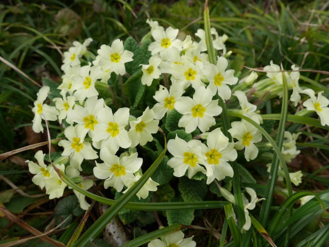 Primroses by the path
