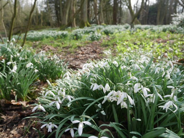 Snowdrops in Park wood!!