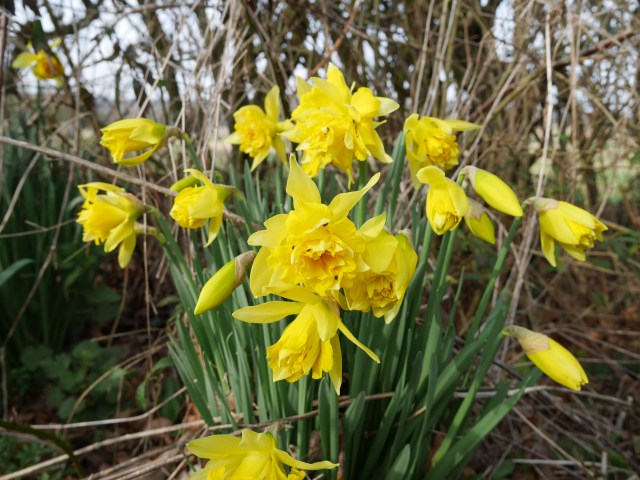 Super-frilly daffodils