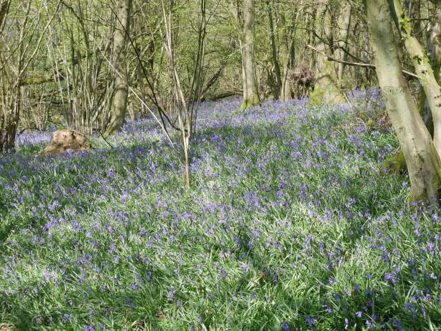 So many bluebells! I ran in the wrong direction to take this photo