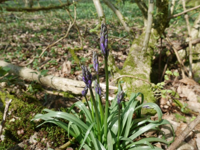 Bluebells that are not even open. Showing everyone should come next weekend!