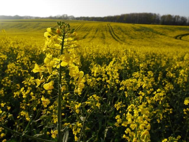 Bright yellow rape-fields