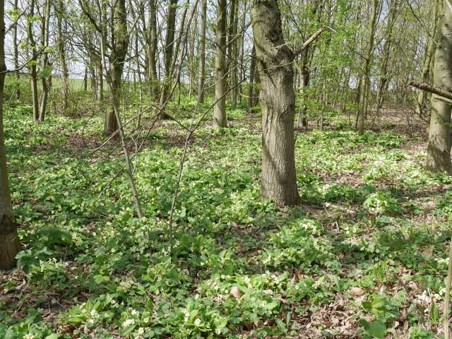Woodland full of primroses