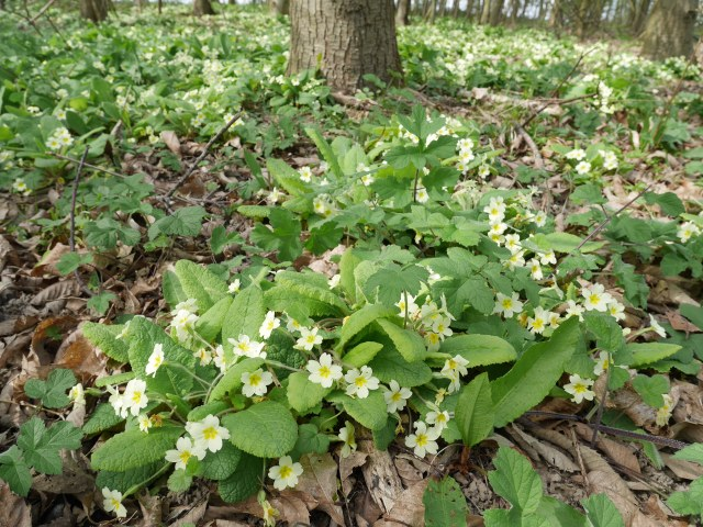 Woodland full of primroses
