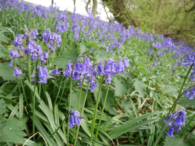 These bluebells couldn't mask the piggy smell