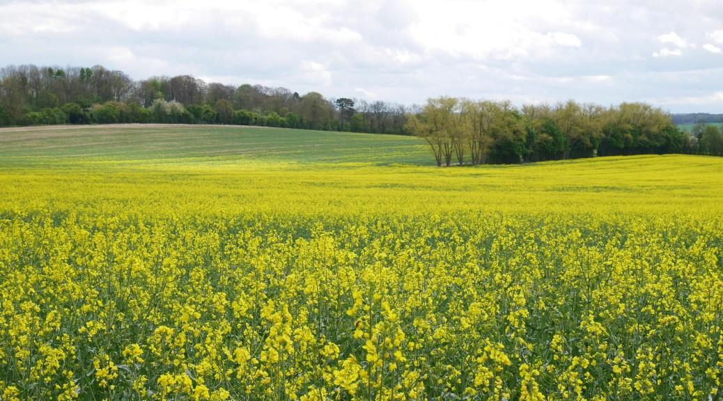 Pretty yellow rapefields