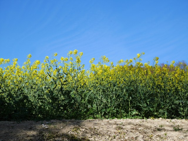 Rapeseed plants from below
