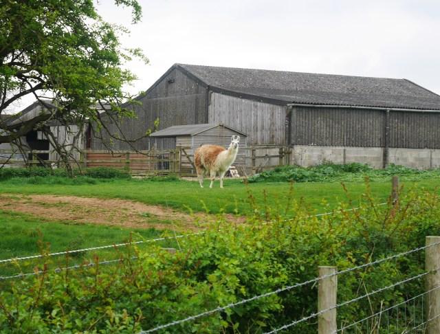 alpaca or llama?