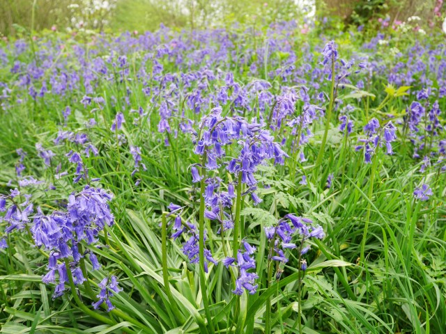 Farthing Common bluebells