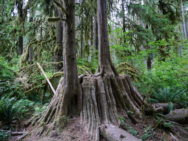 I love seeing little trees growing out of the massive tree trunks