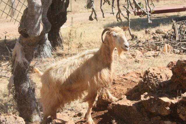 Hello goatface