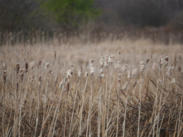 Reeds in Boundary Bay Regional Park