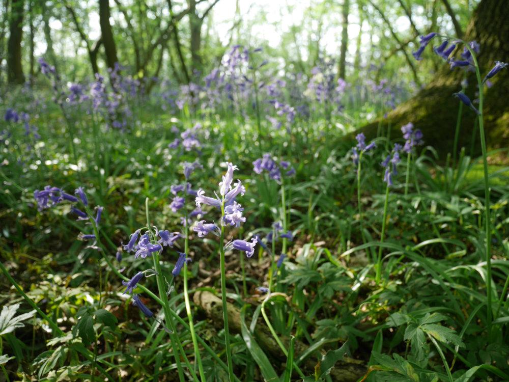 Beautiful bluebells in Nottingham - Ploughman Wood