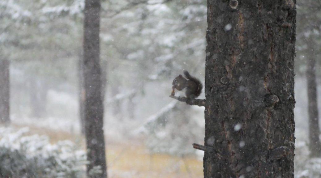 Squirrel in the snow - hoodoos trail