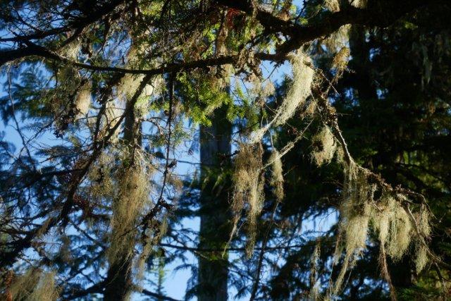 Sun through the lichen