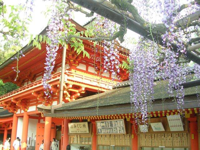 Kasuga Taisha wisteria
