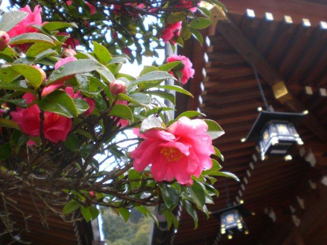 Omiwa jingu flowers