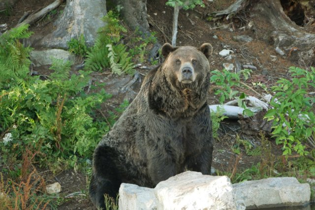 The bears were out and gorgeus on Grouse Mountain