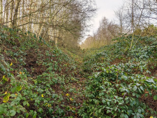 Some paths in the Watchwood plantation are very overgrown with brambles