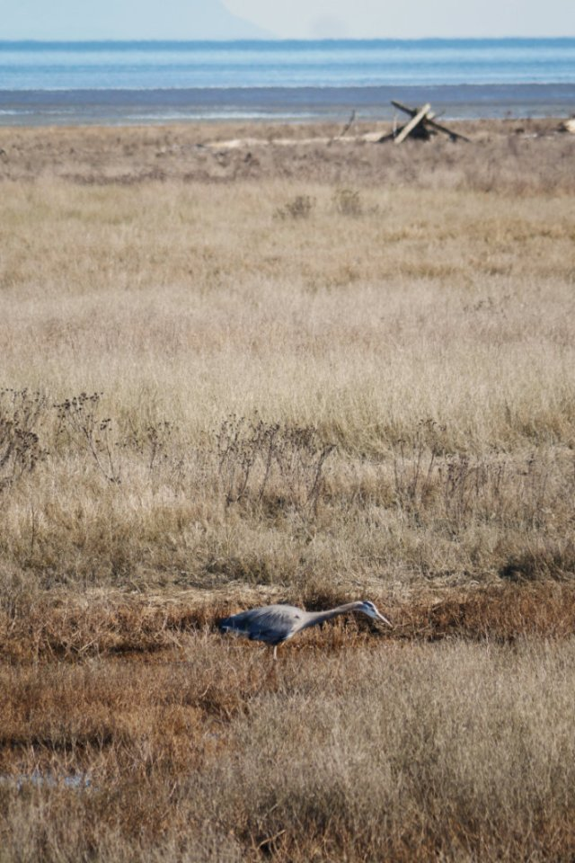 Heron on the Boundary Bay Dyke Trail