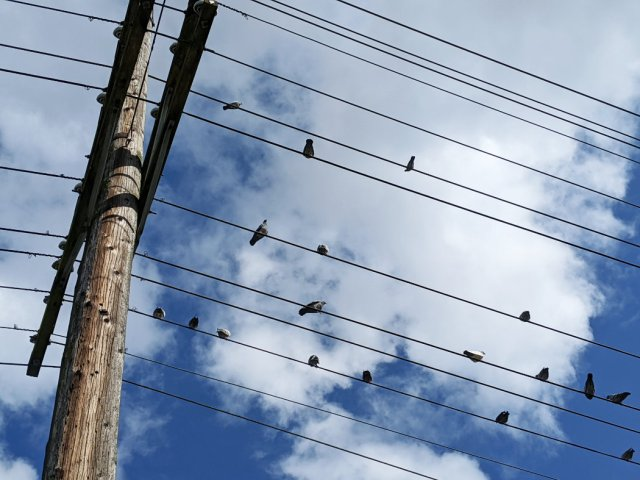 48th Birds on the wires above the Arbutus Greenway