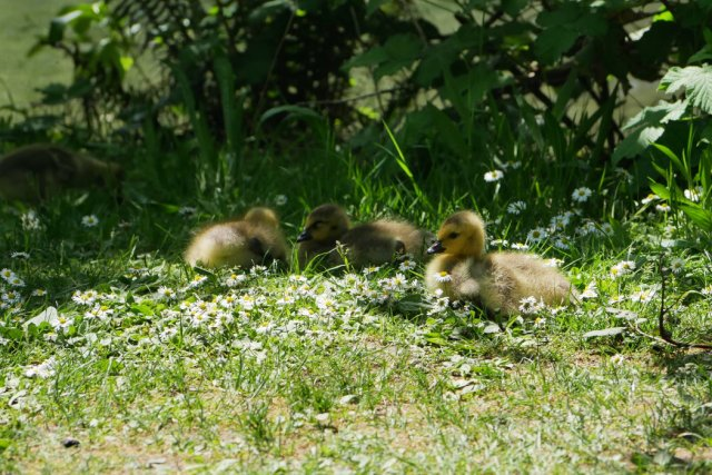 Goslings in Central Park