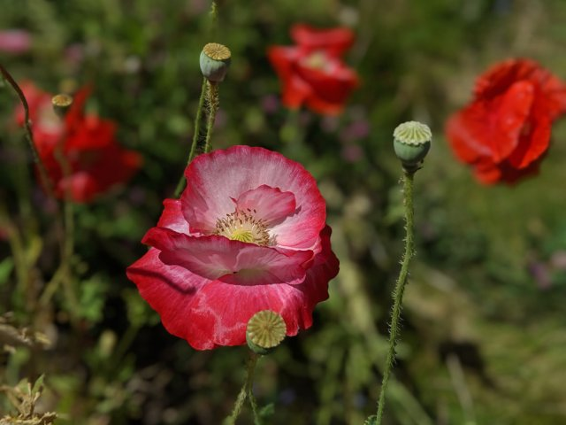 Poppies on the Arbutus Greenway