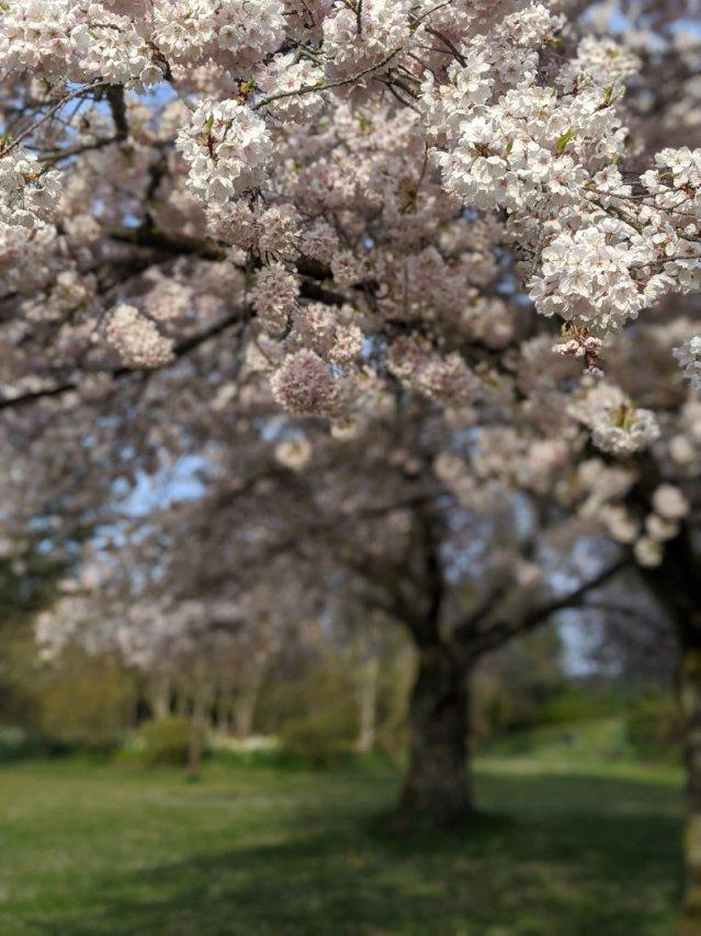 QE park blossoms