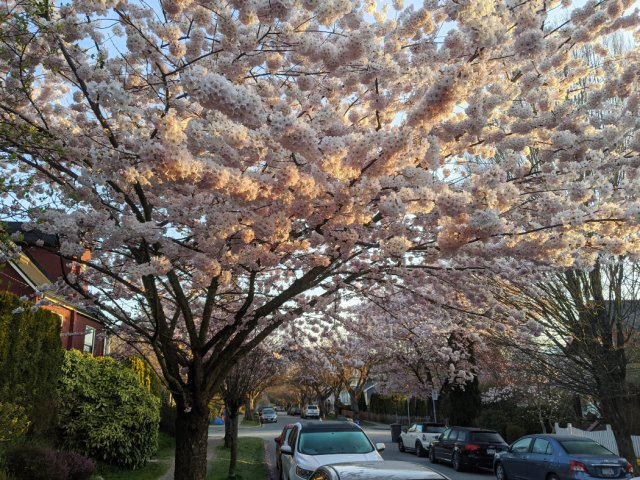 So many blossoms on Vancouver's backstreets