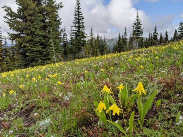 Glacier Lillies all over the trail