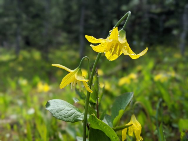Glacier or avalanche lilies