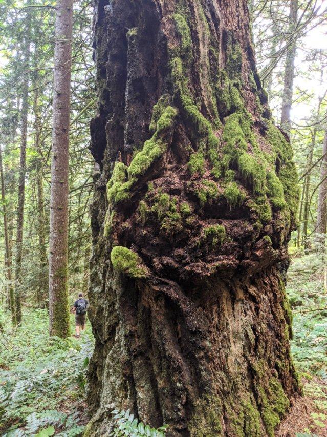 Joan Greenwood Loop trail huge old growth trees