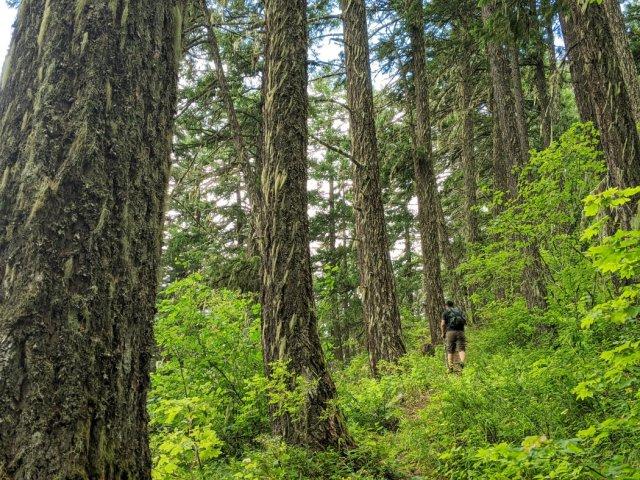 Huge trees on the ridge of the Tikwalus Heritage trail