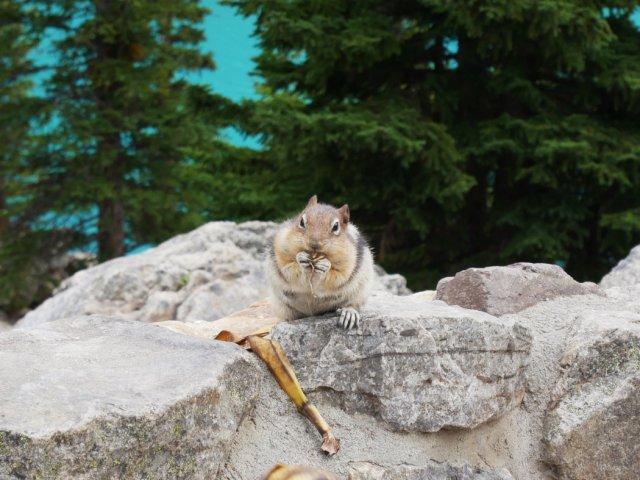Ground Squirrel next to Moraine Lake