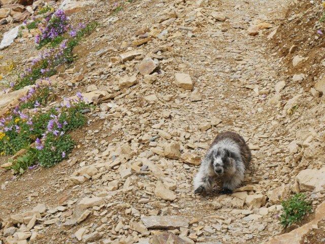 Marmot running