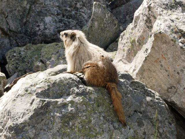 Marmot with a floofy bottom