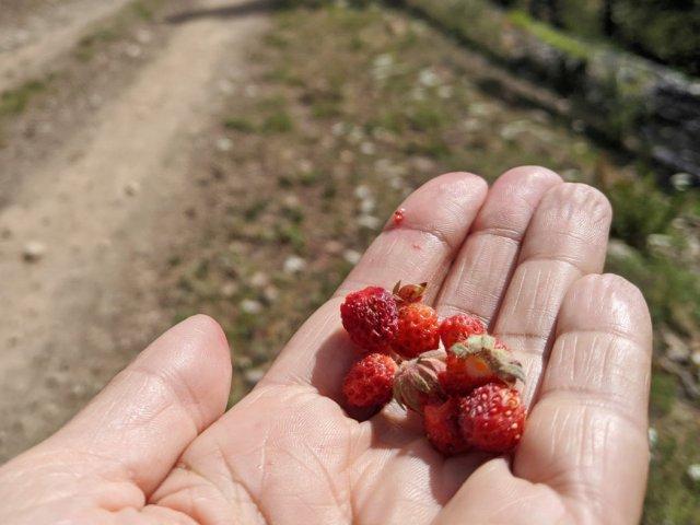 Wild strawberries on the Panorama Mountain summit trail