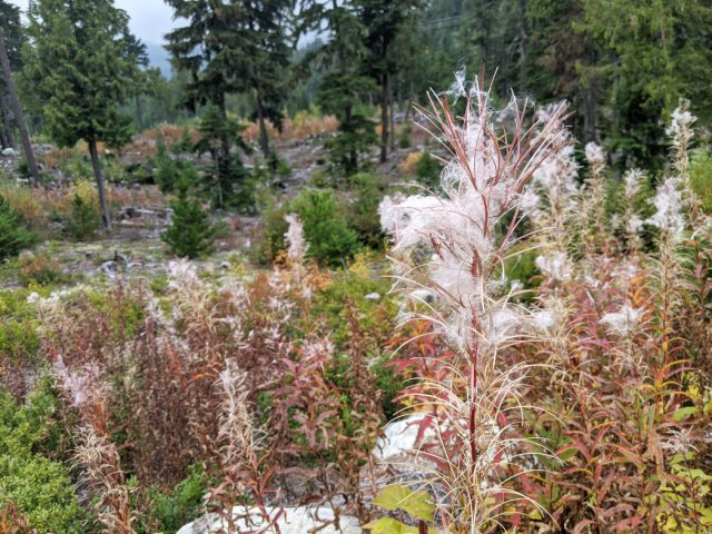 Fluffy fireweed on the Sea to Sky