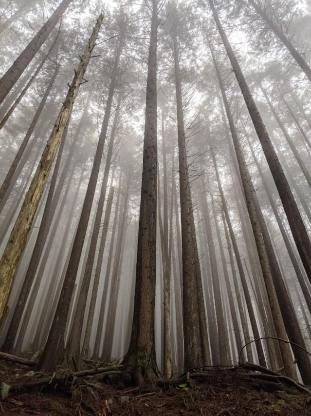 Lower Mount Fromme trees in mist