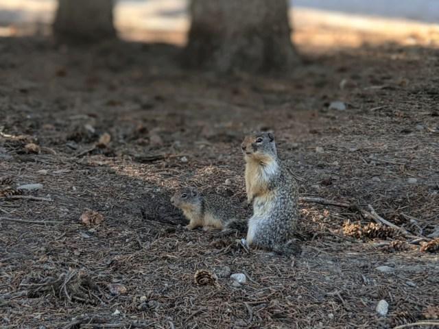 Ground squirrels in Manning Park