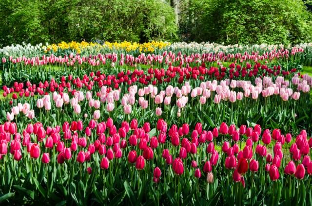 Rows of tulips at Keukenhof