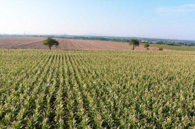 Corn field where we landed