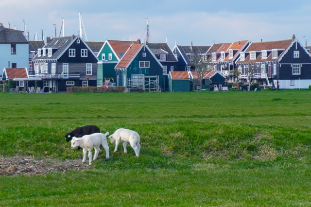 Marken, North Holland with sheep in the foreground and green houses with orange roofs in the background