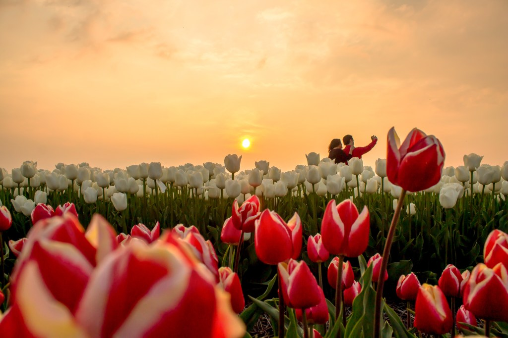 Selfie tulips