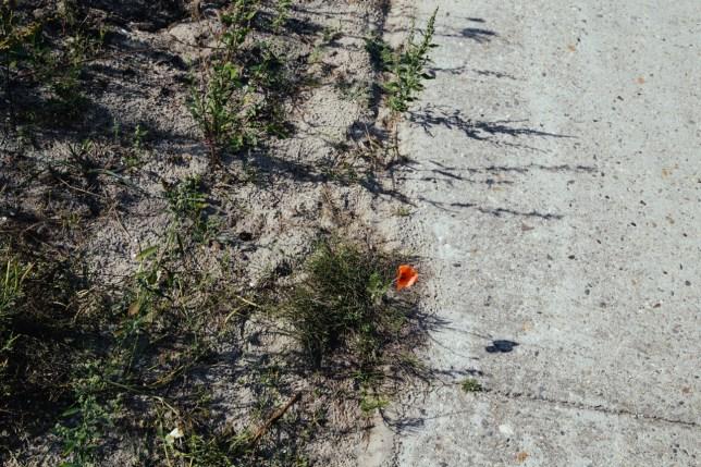 Roadside poppy.