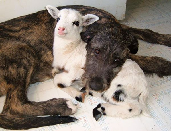 unlikely-sleeping-buddies-lamb-dog