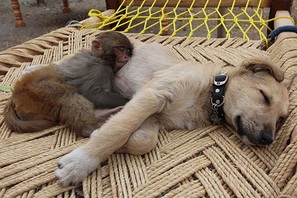 unlikely-sleeping-buddies-monkey-dog