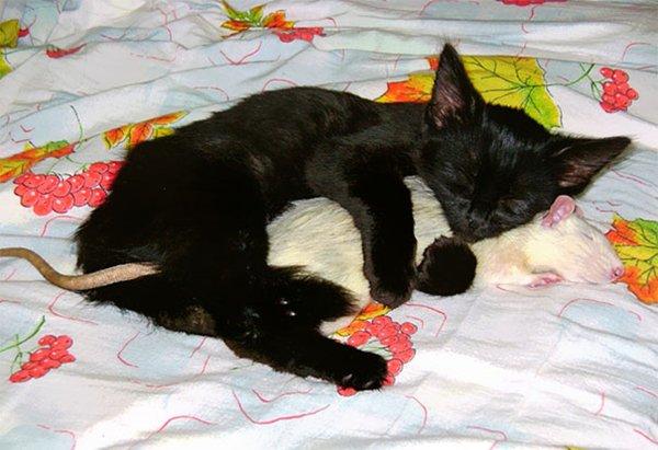 unlikely-sleeping-buddies-rat-cat